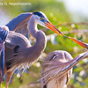 Great Blue Heron stick play, copyright © 2011 Henry G. Nepomuceno.   December in Wakodahatchee Wetlands, FL.