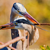 Great Blue Heron stick pass ritual, Copyright © 2011 Henry G. Nepomuceno.  Wakodahatchee Wetlands, FL.