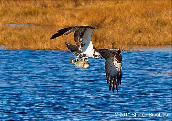 Osprey fishing. Copyright © 2010 Sharon Broutzas.  Dec. in St. Marks NWR, FL.