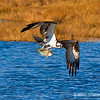 Osprey fishing. Copyright © 2010 Sharon Broutzas.  Dec. in St. Marks NWR, FL.