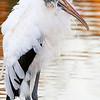 Wood Stork at sunset, copyright © 2010 Henry G. Nepomuceno.  Wakodahatchee Wetlands, FL.