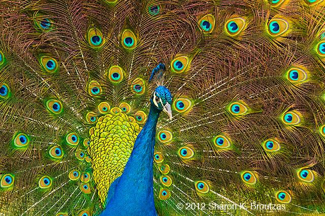 Indian Peacock, copyright © 2012 Sharon K. Broutzas.  December, Arnold's Wildlife Center, FL.