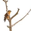 Red shouldered hawk,  copyright © 2010 Henry G. Nepomuceno.  Dec. in St. Marks NWR, FL.