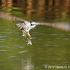 Osprey, copyright © 2012 Henry G. Neopmuceno.  December, Wall Springs Park, FL.