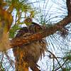 Great Horned Owl Peek-A-Boo