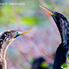 Anhinga courting couple, copyright © 2011 Henry G. Nepomuceno.  December in Wakodahatchee Wetlands, FL.