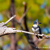 Belted kingfisher, copyright © 2010 Sharon K. Broutzas.  Dec. in St. Marks NWR, FL.