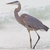 Great Blue Heron, copyright © 2012 Sharon K. Broutzas. December, Treasure Island Beach, FL.
