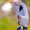 Great Blue Heron portrait, copyright © 2011 Henry G. Nepomuceno.  December in Wakodahatchee Wetlands, FL.