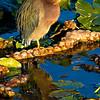 Green Heron, copyright © 2010 Sharon K. Broutzas.  Dec. in Wakodahatchee, FL.
