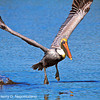 Brown Pelican chasing snack, copyright © 2010 Henry G. Nepomuceno.  Dec. on Sanibel Island, FL.