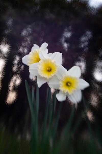 Daffodils032819-68.jpg