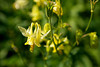 A yellow columbine (Aquilegia Flavescens) glowing with sunlight in Glacier National Park, Montana.