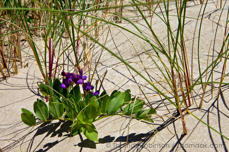 A beach pea (Lathyrus japonicus) sprouts among the dune grass.
