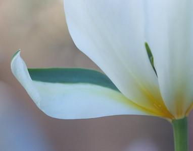 tulip_041010-28