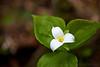 A beautiful white trillium (Trillium grandiflorum) with its thrice leaves, stamen and petals.