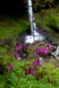 Two stocks of Pacific Bleeding Hearts (Dicentra Formosa) grow above North Falls in Silver Falls State Park, Oregon.