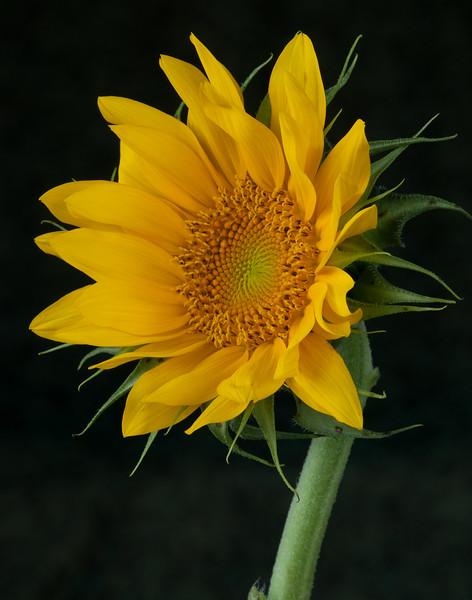 sunflower_082810-23.jpg