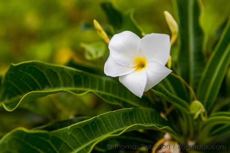 Hawaiian White Flower