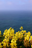 Yellow Bush Lupine (Lupinus arboreus ) blossoms in vibrant yellows above the Pacific Ocean near Point Reyes Lighthouse