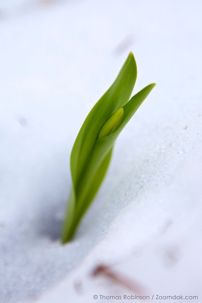 A new bud of avalanche lily (Erythronium montanum) through the snow. Avalanche lilies are often the first flowers to break through snowmelt.
