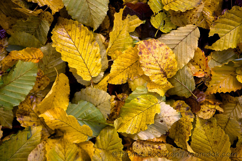 A variety of yellow alder leaves (Alnus rubra) spread across the forest floor.