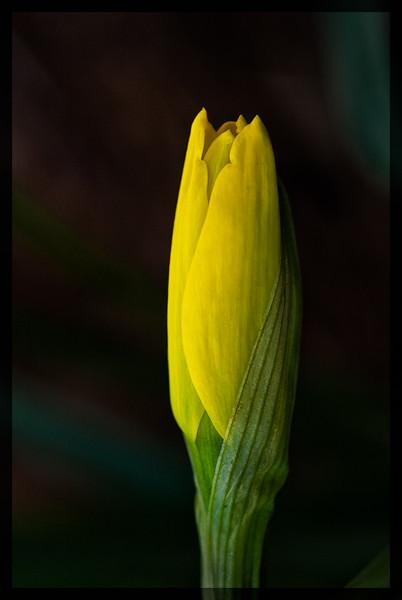 Daffodils_022412-330-Edit.jpg
