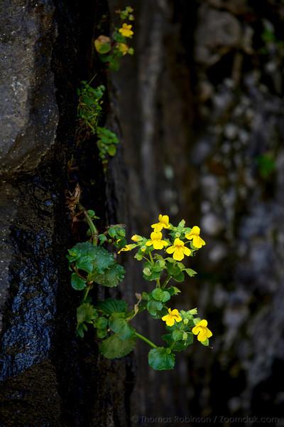 Monkey Flower near Heceta Head