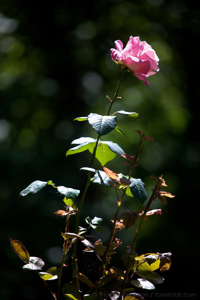 A pink rose opens to the afternoon light.