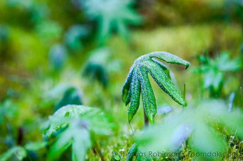Dew Dazzled Growth