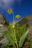 A set of three glacier lilies (Erythronium grandiflorum), also called yellow avalanche lilies, grow in a sub-alpine shelf in Glacier National Park, Montana.