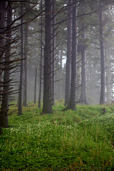 Oregon Coast Stormy Forest with May Lilies