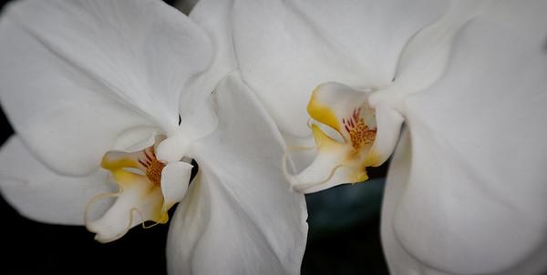 Orchids_03-13-11-335
