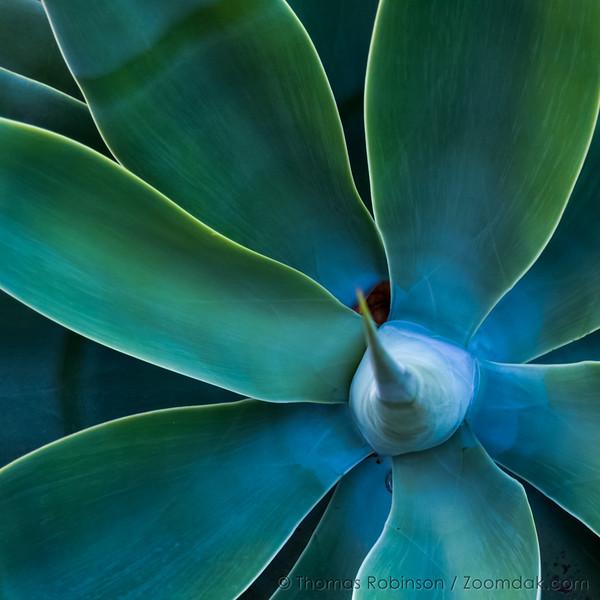 Santa Barbara Agave Plant