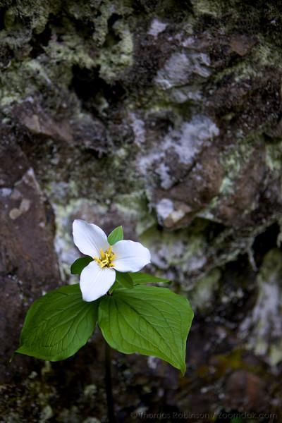 A great white trillium (Trillium grandiflorum) shares its simplicity and beautiful singular and triune nature.