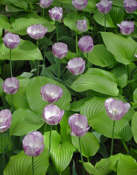 Uva Tulips