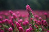 Red Clover or Trifolium Pratense