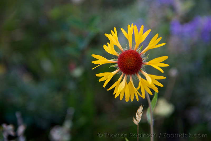 A fresh blooming blanket flower (Gaillardia aristata) glows in the evening light.