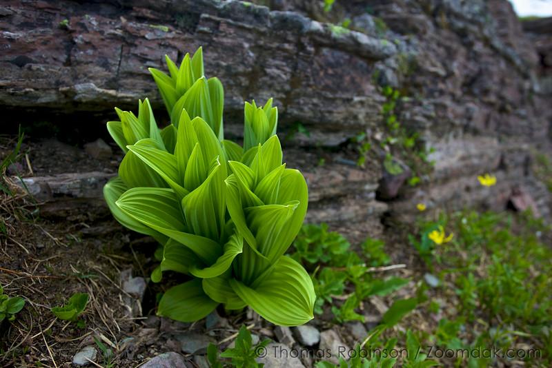 Corn Lily, Glacier National Park