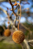 "The ""fruit"" or seed of an American Sycamore tree (Platanus occidentalis),  hangs like a spiky mace ball in Eastern Washington. These trees, also known as Buttonwood, can grow quite large - up to 98 to 130 ft (30 to 40 meters) high and 4.9 to 6.6 ft  (1.5 to 2 meters) in diameter"