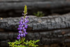Native Lupin, Horizontal