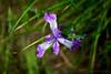 From above, an Oregon Iris (Iris tenax) in spring bloom in Corvallis, Oregon.