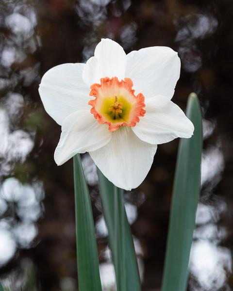 Daffodils032819-16.jpg