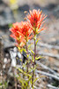 Trio of Indian Paintbrush