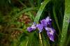 An Oregon iris (Iris tenax) is moist with recent rain at Port Orford Head.