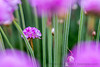 Budding Sea Thrift