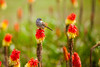 Sparrow Red Hot Poker Perch