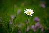 An oxeye daisy (Leucanthemum vulgare) faces the sky in a field of flowers.