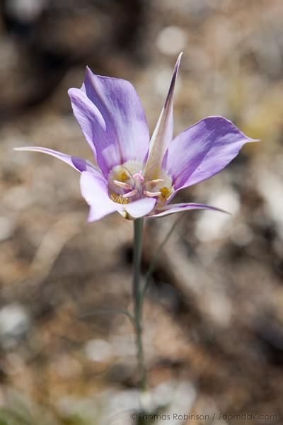 Sagebrush Mariposa Lily