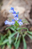 Lowly Penstemon at Smith Rock